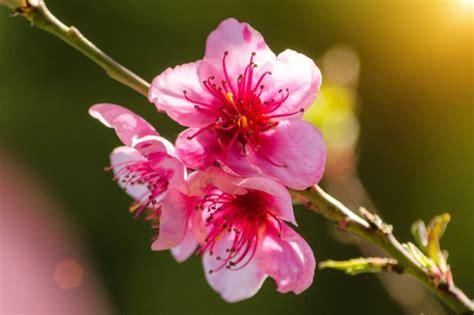 rami di fiori fiori di pesco foto e vettori gratis