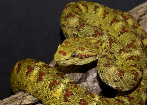 christmas tree eyelash viper by laviboradotcom on deviantart