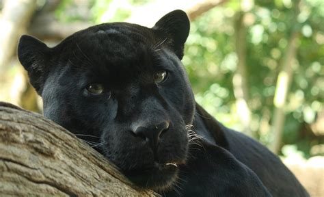 Animal Communicator Calms An Angry Panther