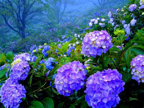 hydrangea  hortensia flowering plants bushes flower