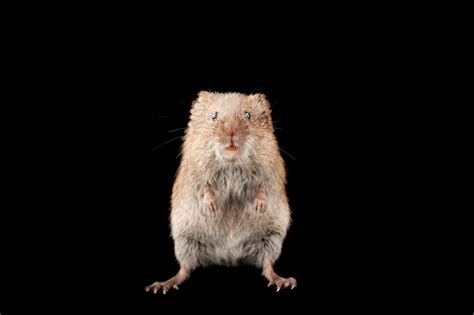 When Single Male Rodents Settle Down They Changed Forever