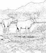 Moose Coloring Pages Getdrawings Getcolorings sketch template