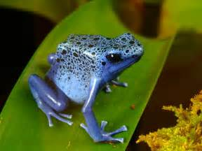 Tropical Rainforest Animal Blue Frog