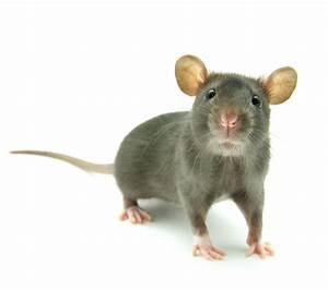 Comment Attraper Une Souris : souris domestique sur notre blog ~ Dailycaller-alerts.com Idées de Décoration