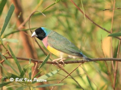 lady gouldian finch photographs