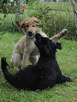 gummipferd zum hüpfen hovawartzucht vom hexenweiher b wurf bellis