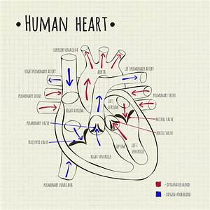 A Human Heart Diagram Stock Vector
