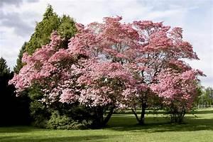 Baum Mit Blüten : rosa bl ht baum fr hling stockbild bild von bunt baum 14076921 ~ Frokenaadalensverden.com Haus und Dekorationen
