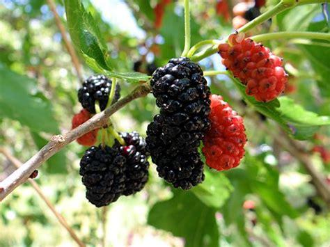 mulberry tree no fruit white mulberry fruit tree morus alba arizona vegetable fruit gardening for the arizona