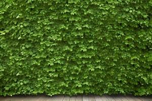 Plantes Grimpantes Mur : plante grimpante sur grillage ~ Melissatoandfro.com Idées de Décoration