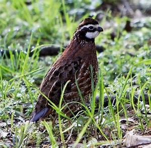 Wildlife - Georgia State Game Bird (Bobwhite Quail ...