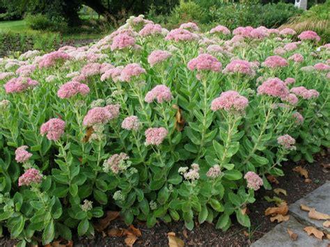 Pictures Of Pink Flowers Hylotelephium Telephium Sedum Telephium Orpine World Of Succulents