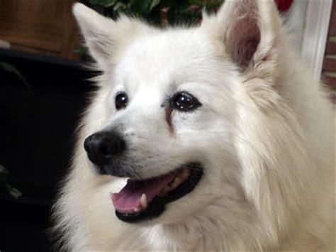 american eskimo shedding problem tear stains american eskimo dogs tear stained