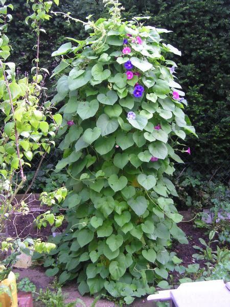 Schnellwachsende Pflanze Als Sichtschutz pflanze als sichtschutz gesucht schnellwachsende pflanzen