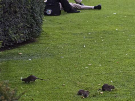 sur la pelouse du louvre les rats pullulent