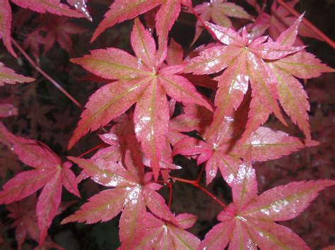 japanese maple leaf spots japanese maple acer palmatum plant life