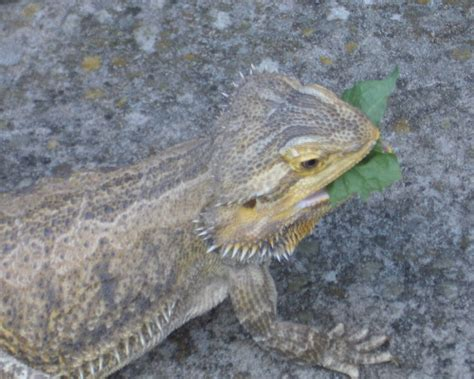 what kind of heat l for bearded dragon bearded dragon or leopard gecko compare ownership cost