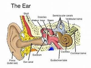 Images of Ear Anatomy Pinna - #golfclub