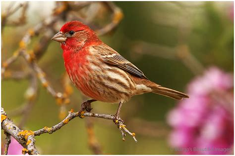 finches house 28 images harry the house finch margo s