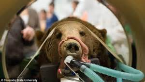 csu animal hospital surgeons operate on grizzly after it was rescued from