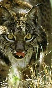 Blog FUAD - Informasi Dikongsi Bersama: Top 5 Rarest Cats