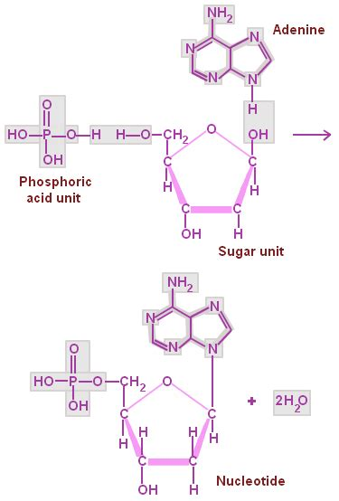 Nucleic Acid Structure Function