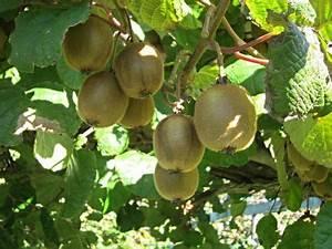Tailler Les Kiwis : conseils de taille de plantation et soins pour faire fructifier l 39 actinier et obtenir des kiwis ~ Farleysfitness.com Idées de Décoration