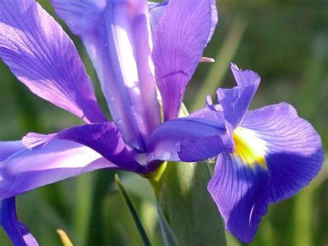 iris flower care how to care for iris plants after bloom need to know this since i inherited some free post