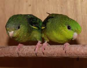 lineolated parakeet green lineolated parakeets katharinasittich pinterest
