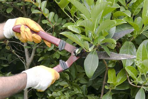 pruning bushes do plants need haircuts wonderopolis