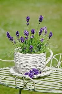 Lavendel Pflanzen Balkon : lavendel im garten oder auf dem balkon pflanzen balkon ~ Lizthompson.info Haus und Dekorationen