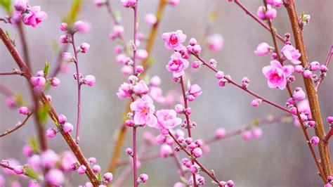 peach blossoms bing wallpaper