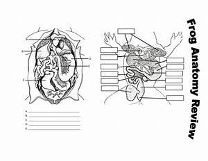 13 Best Images Of Frog Anatomy Labeling Worksheet