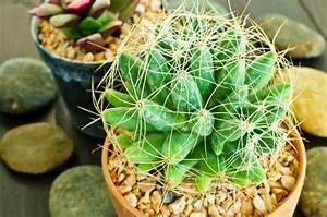 Comment Entretenir Un Cactus : cactus entretien conseils lumi re et arrosage ~ Nature-et-papiers.com Idées de Décoration