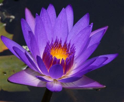 purple water lily photojpg  comment