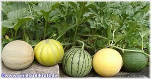 Tomaten Und Gurken Im Gewächshaus : reinhards tomaten melonen gurken ~ Frokenaadalensverden.com Haus und Dekorationen