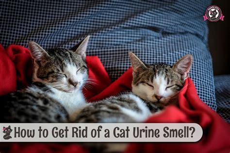 How To Get Rid Of A Cat Urine Smell?