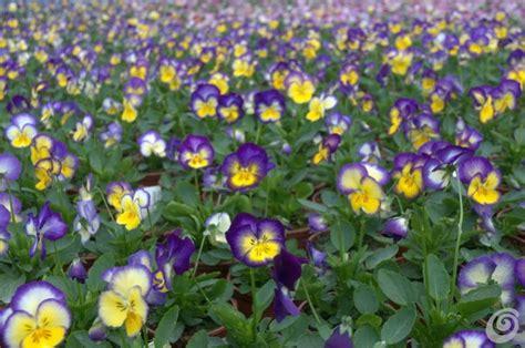 piante da davanzale fioriere per davanzali