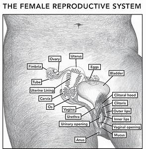The Female And Male Reproductive Systems  Posters