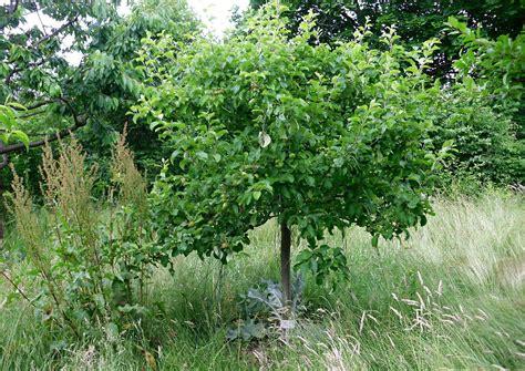 Apfel Botanischer Garten Hamburg by Nutzgarten Apfelbaum Landsberger Resette Kleiner Apfelbaum