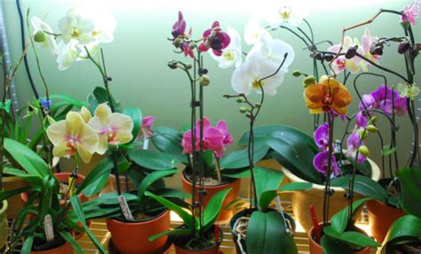 when are orchids in bloom phal orchids in bloom