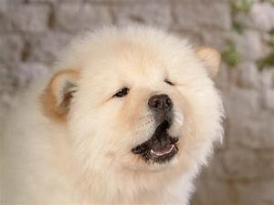 White Chow Chow Wallpapers,Other Wallpapers & Pictures ...