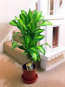 1popular, Evergreen, Indoor, House, Plant, Pot, Office, Home, Conservatory, Garden, Tree