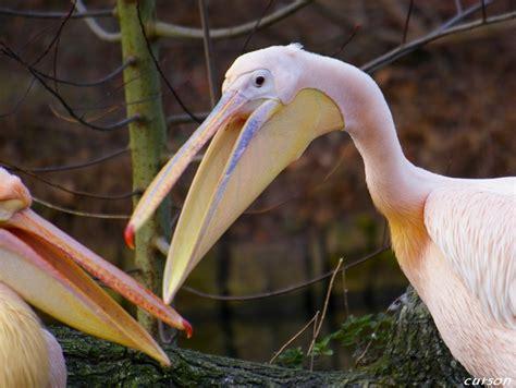 le de poche pelican oiseau ma pour la photographie