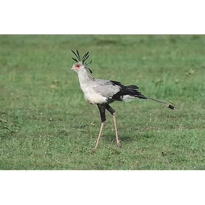 Secretary birdRate Every Animal