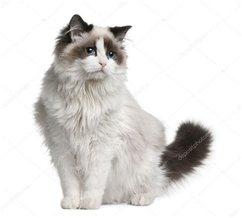 Ragdoll Cat, 7 Months Old, Sitting In Front Of White