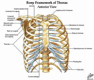 Thorax Lungs Heart Anatomy And Physiology Diagrams Free