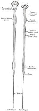 ix neurology   spinal cord  medulla spinalis