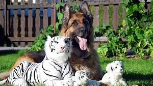 dog, Tiger, Animals, German Shepherd, Stuffed Animals ...