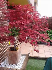 Roter Japanischer Ahorn : japanischer ahorn herbst strahlend rote blaetter pflanzkuebel terrassen ~ Frokenaadalensverden.com Haus und Dekorationen